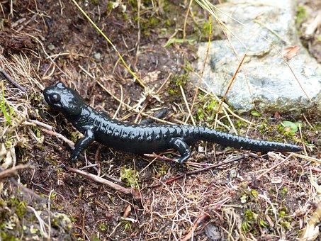 Alpine Salamander, Amphibian, Salamander