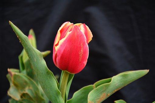 Tulip, Flower, Chunhua