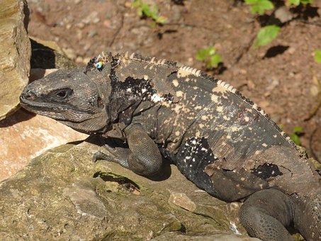Iguana, Roatan, Lizard, Reptile, Dragon, Honduras