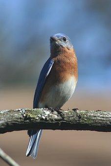 Eastern Bluebird, Bird, Blue, Bluebird, Nature