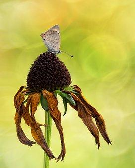 Fire Falter, Butterfly, Butterflies, Common Blue