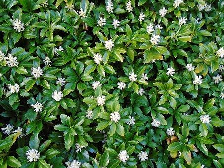 Pachysandras, Green, Ground Cover, Garden, Plant, Flora