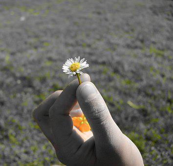Daisy, Geese Flower, Flower, Plant, Nature, Hand, Close