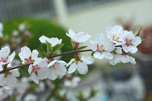 Big-leaf Dry Cherry, Flower, Spring