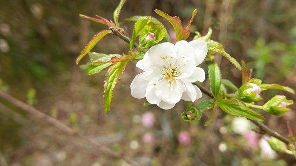 Flowers, White, Plum Blossom