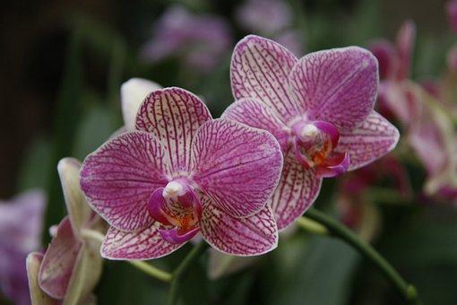 Orchid, Phalaenopsis, Garden