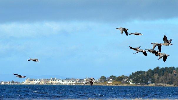 Birds, Geese, Findhorn Bay