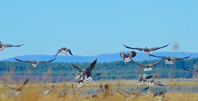 Geese, Goose, Scotland, Pink Foot Goose