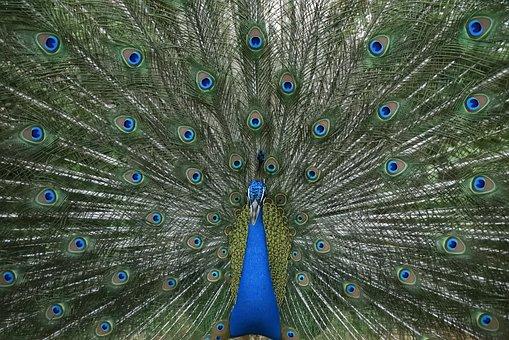 Peacock, Dance, Plumage, Green Dance, Green Dancing