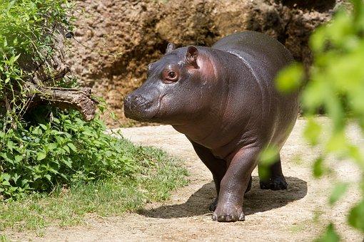 Hippopotamus, Zoo, Young Hippo, Hippo
