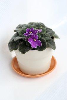 Violet, In A Pot, Indoor Plant, Flower, Plant