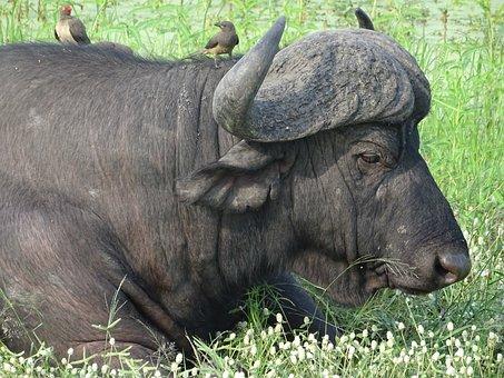 Buffalo, Horns, South Africa, Malamala, Animal, Horned
