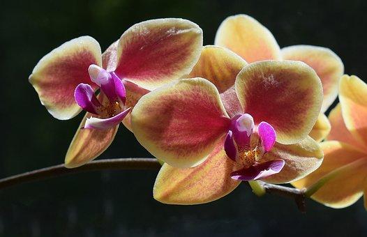 Hybrid Phalaenopsis, Close-up, Phalaenopsis, Orchid
