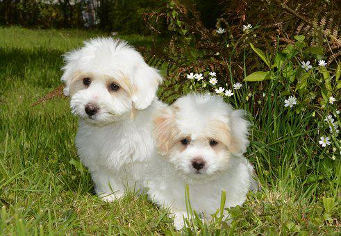 Puppies Coton Tulear, Dog, Animal, Cotton Tulear, White