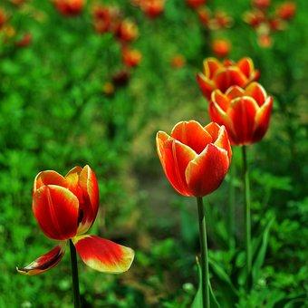 Red, Tulip, Discourse
