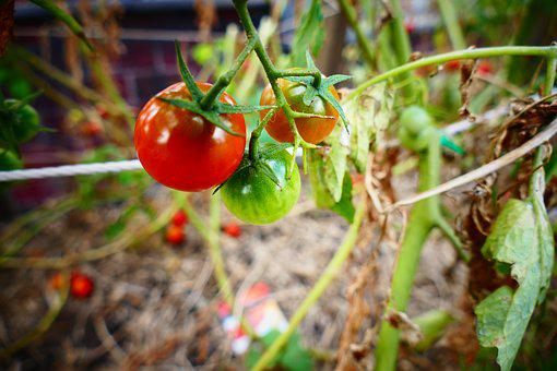 Tomato, Garden, Red, Green, Food, Salad, Agriculture