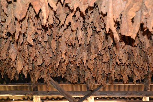 Cuba, Vinales, Tobacco, Cigars, Viñales Valley, Drying