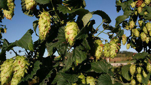 The Hop Garden, Wisconsin, Hops