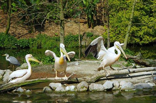 Pelican, Bird, White, Zoo De Lille, White Bird, Scale