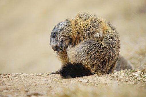 Marmot, Animal, Alpine, Alps, Dolomites, Nature