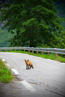 Fox, Road, Animal, Wildlife, Cute, Baby