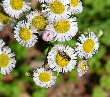 Fleabane And Bee, Honey Bee, Fleabane, Flower, Blossom