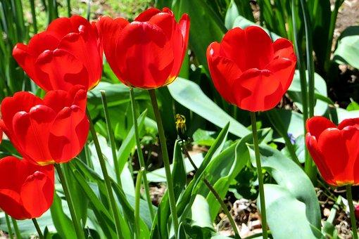 Tulip, Tulips, Bloom, Blossom, Flower, Spring, Floral