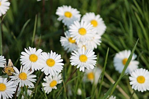 Daisy, Spring Meadow, Meadow, Spring, Flower Meadow