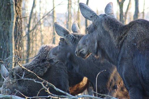 Moose, Biebrza, Mammal, Animals, Nature, Fauna