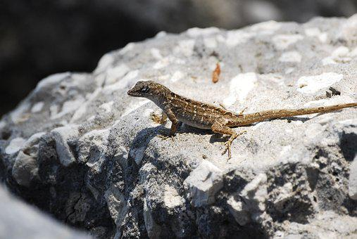 Lizard, Florida, Beautiful Lizard, Reptile, Nature
