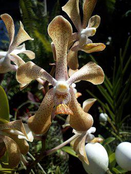 Nature, Flowers, Cattleya, Cattleya Flowers, Brown