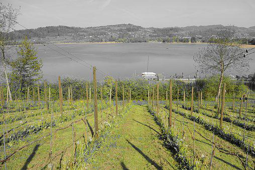 Vineyard, Wine, Lake, Grapevine, Landscape, Nature
