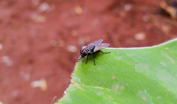 Housefly, Musca Domestica, Fly, Insect, Pest, Eye