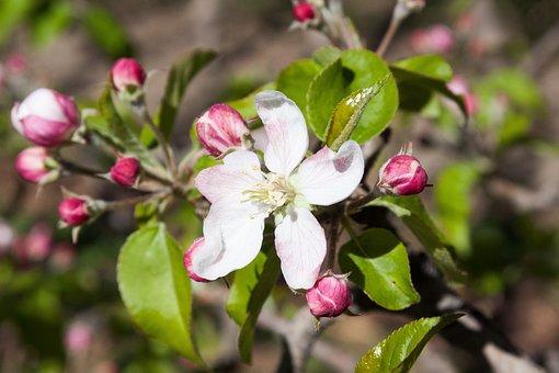 Apple Blossom, Bloom, Flowers, Spring, Lenz, One