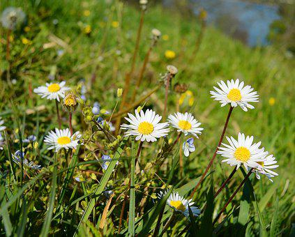 Daisy, Geese Flower, Flora, Flower, Meadow, Spring