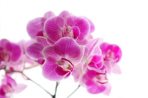Orchid, Phaleonopsis, Art, Plant, Flowers, Violet, Pink
