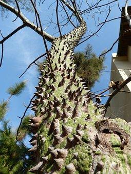 Ceiba Speciosa, Barbed Tree, Spur, Turkey, Unusual
