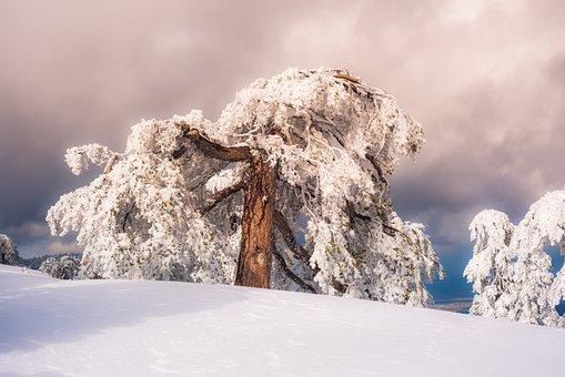Pine, Sky, Snow, Snowy, Sun, Sunny, Weather, White