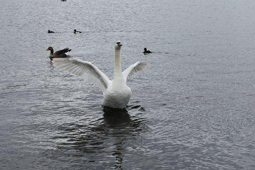 Bird, Park, Their, Pond, Water, White, Swan, Beautiful