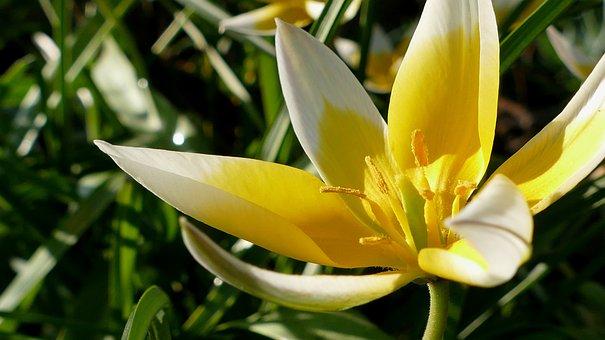 Tulip, Yellow-white, Flower, Blossom, Bloom, Nature