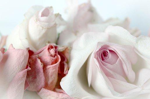 Roses, Romantic, Background, Pink, Dusky Pink, Vintage