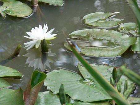 White Lotus, Plant, Dwarf Lily, Pond