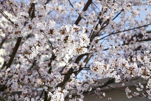 Wood, Cherry Blossom, Sakura, Flowers, Spring