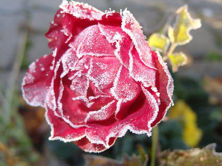 Rose, Frosty, Flower, Autumn, Red
