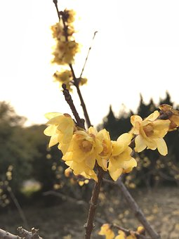 Chimonanthus Praecox, Backlighting, Permeability