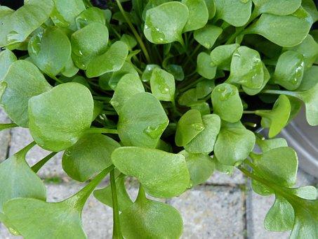 Garden, Herbs, Herb, Portulak