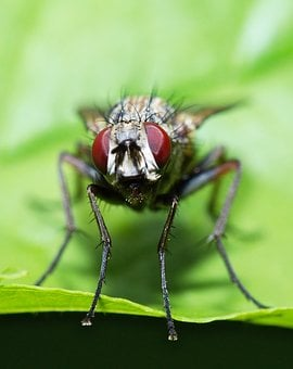 Fly, Macro, Eyes, Insect, Nature, Close, Compound Eyes