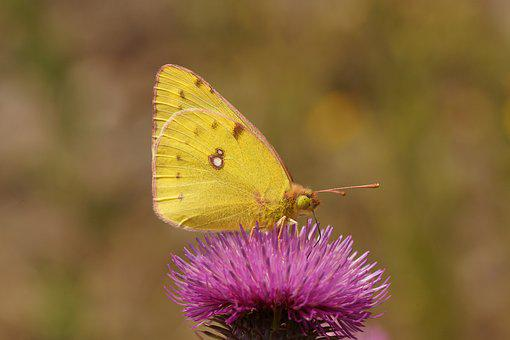 Butterfly, Golden Eight, Nature, Insect, Color, Meadow