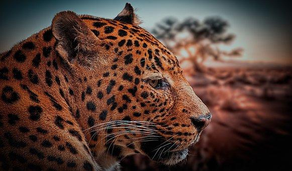 Leopard, Animal, Nature, Africa, Beast, Mačkovitá Beast