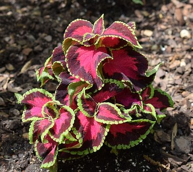 Coleus, Foliage, Leaves, Plant, Garden, Nature